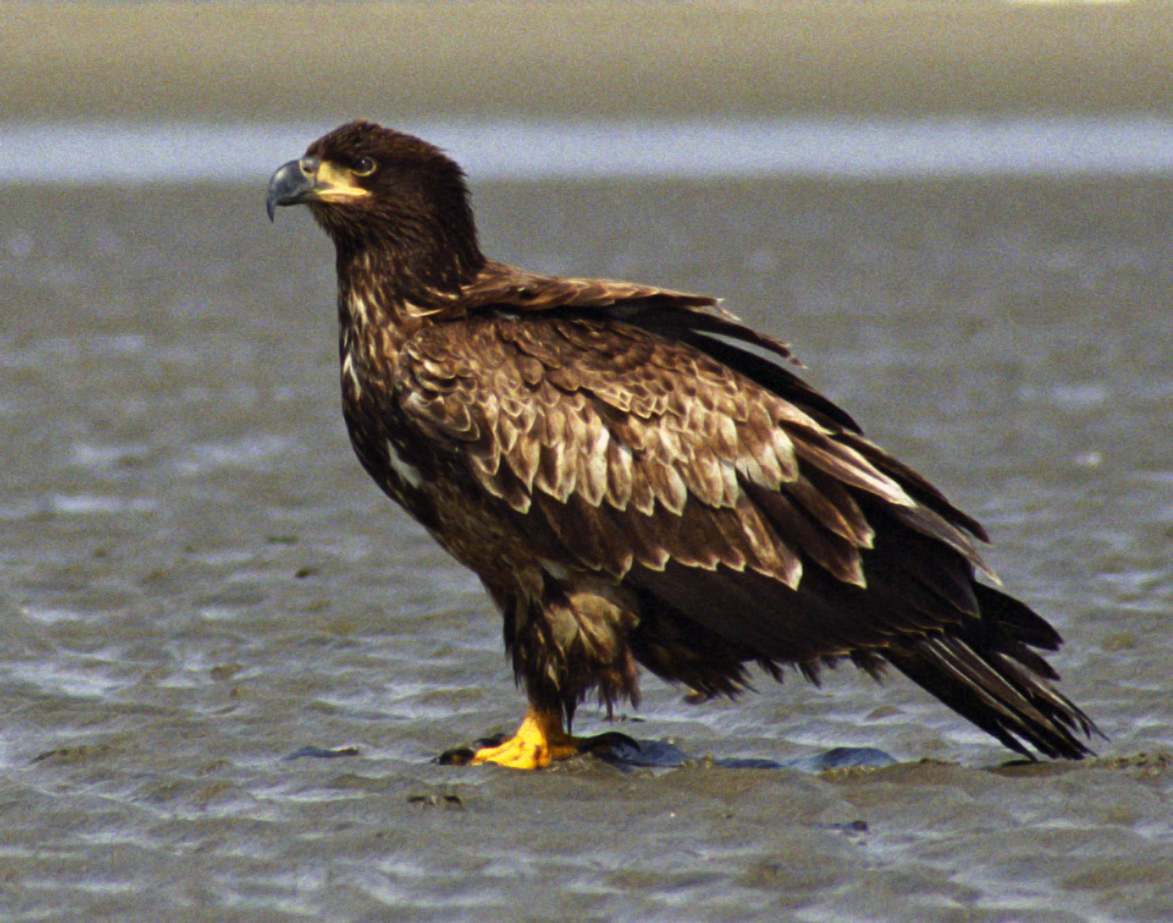 american eagle mission