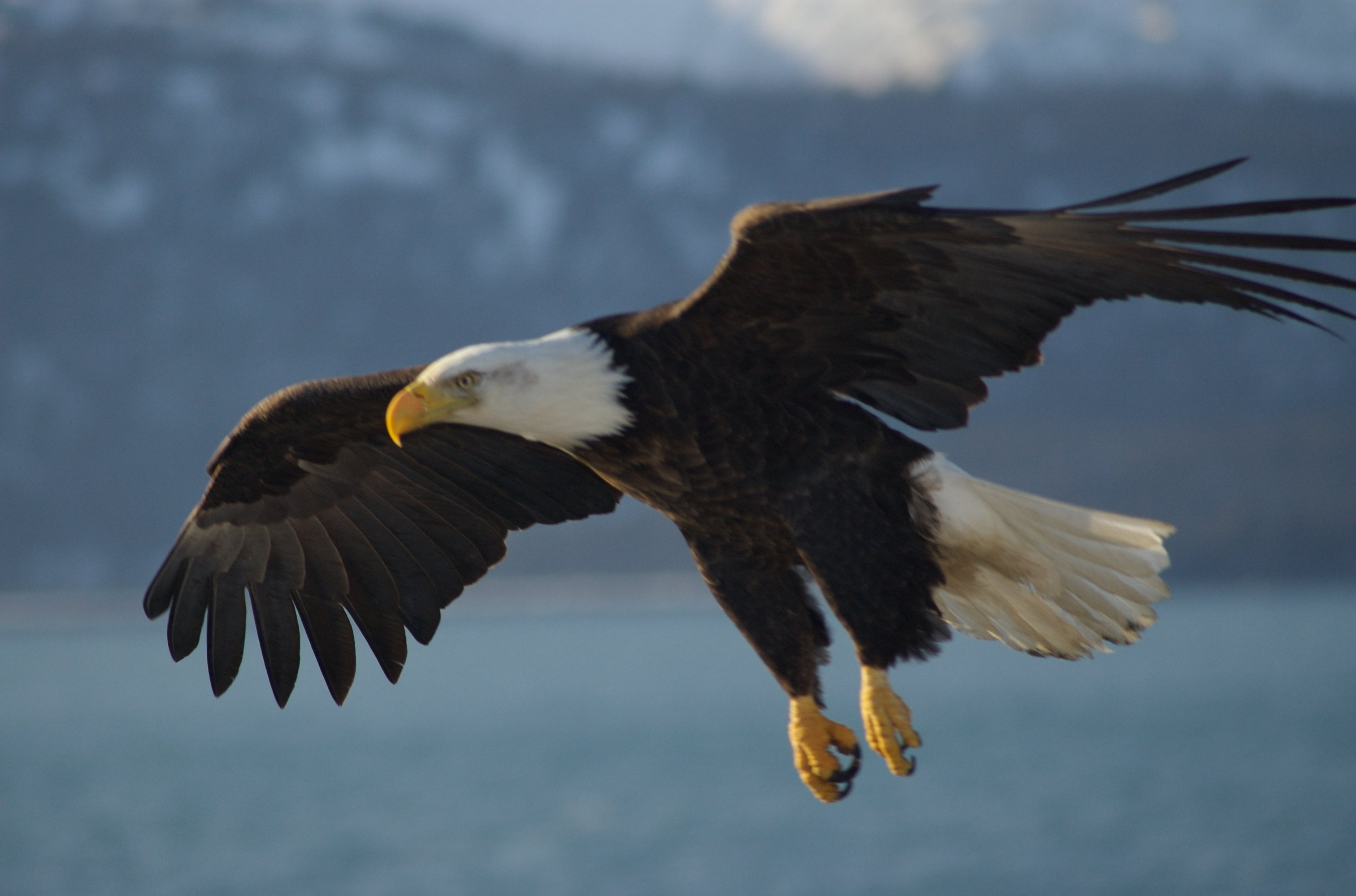 Animal Galleries, pictures of animals from around the world | Birds | Eagles  | Bald Eagle | Bald American Eagle picture aguila Bald_Eagle_Alaska_(10)