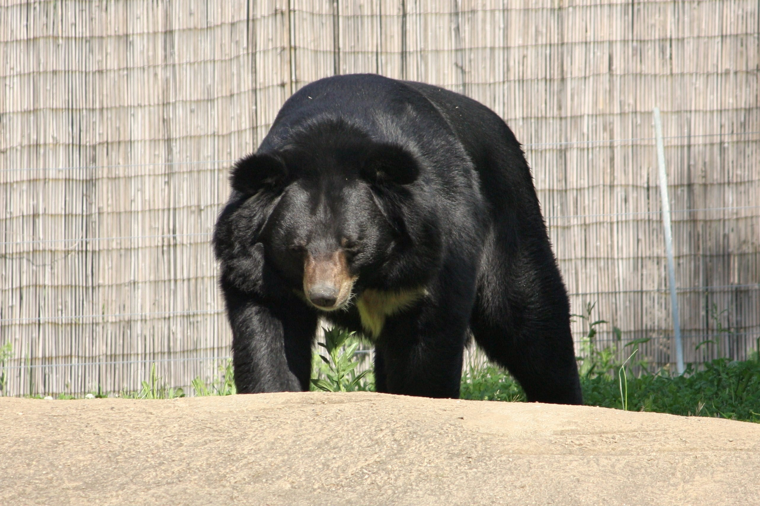 ... Bear Photo Gallery | Asiatic Black Bear asian Ursus hibetanus