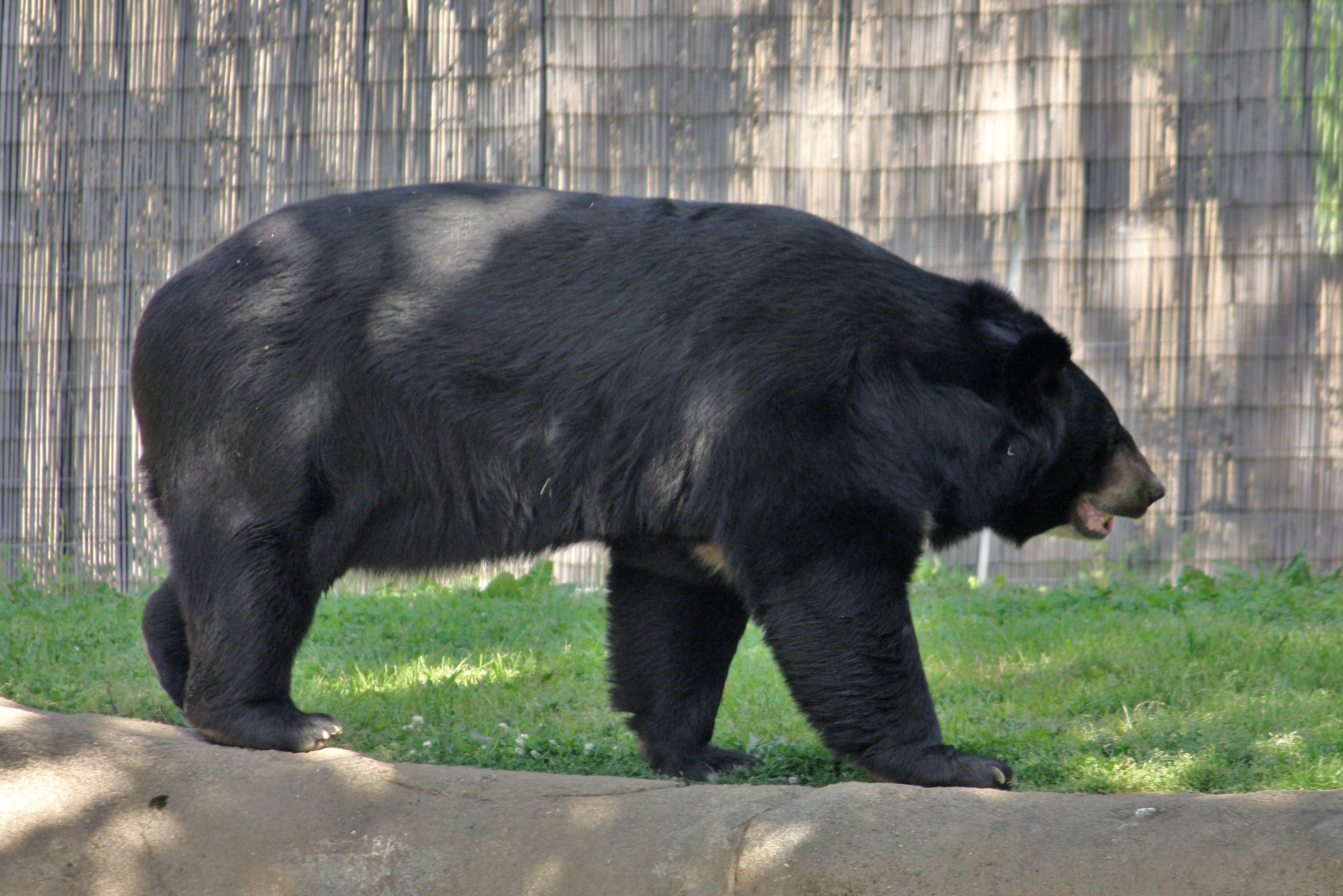 ... Black Bear Photo Gallery | Asiatic Black Bear asianUrsus thibetanus