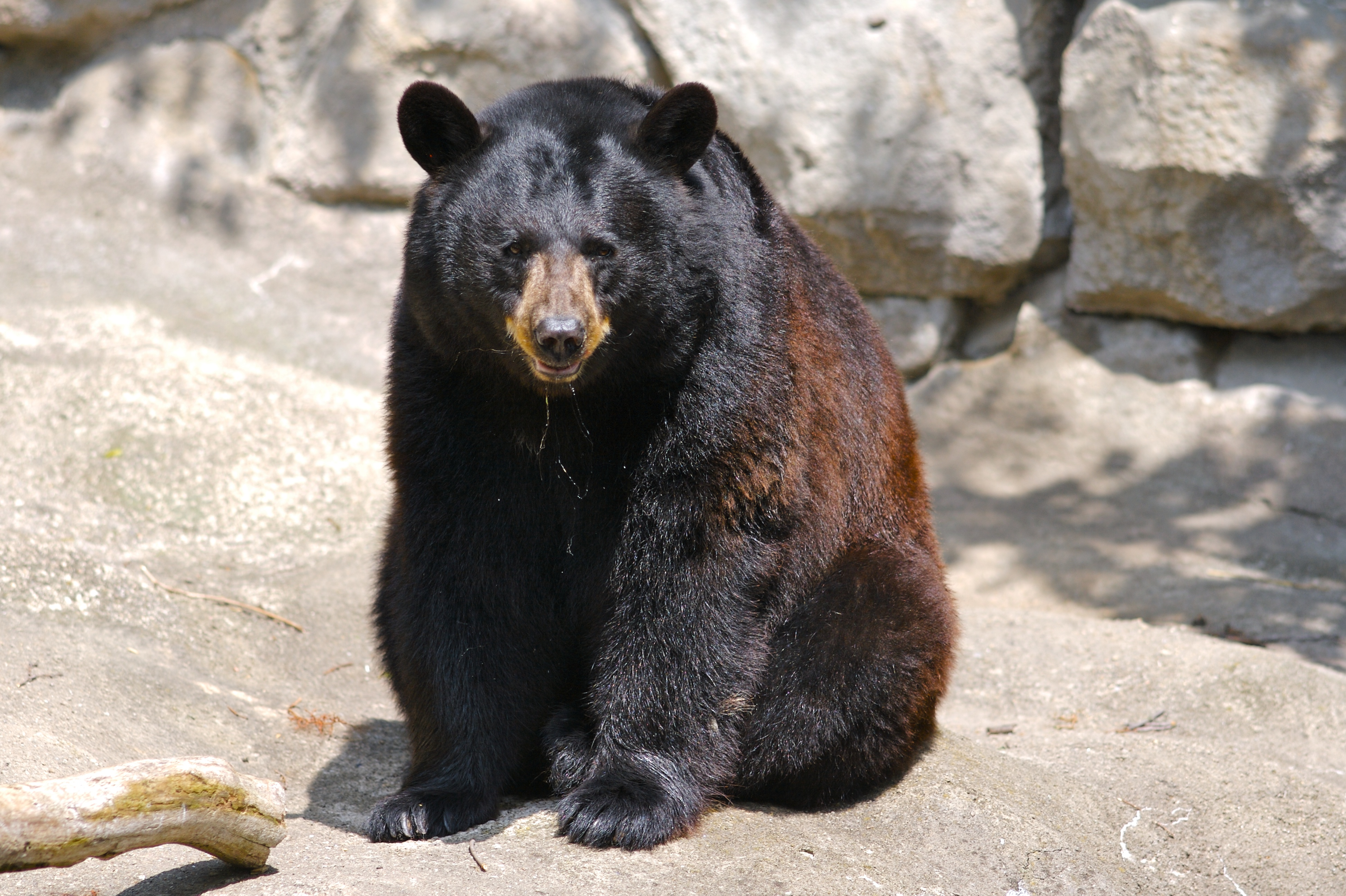 bear and american black bears Sources, but also became more aggressive than the black bear, a behavioural   cal differences between black bears and the north american brown/grizzly bear.