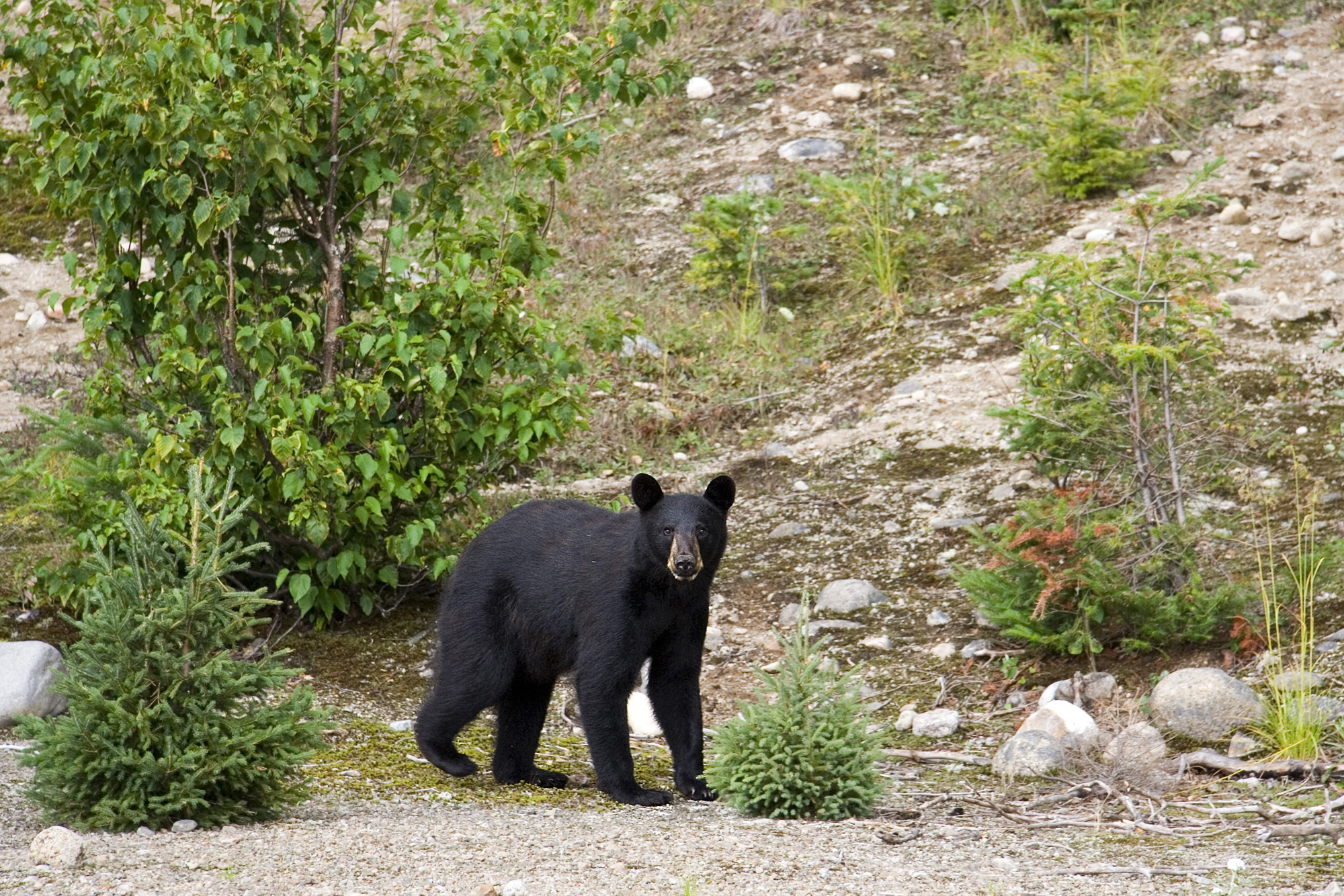 an analysis of the canadian black bear in the world Into the canadian wilderness vast, diverse and wild, planning a trip to the world's second largest country can be bewildering, but whatever journey you take in this magical land, breathtaking experiences are guaranteed.