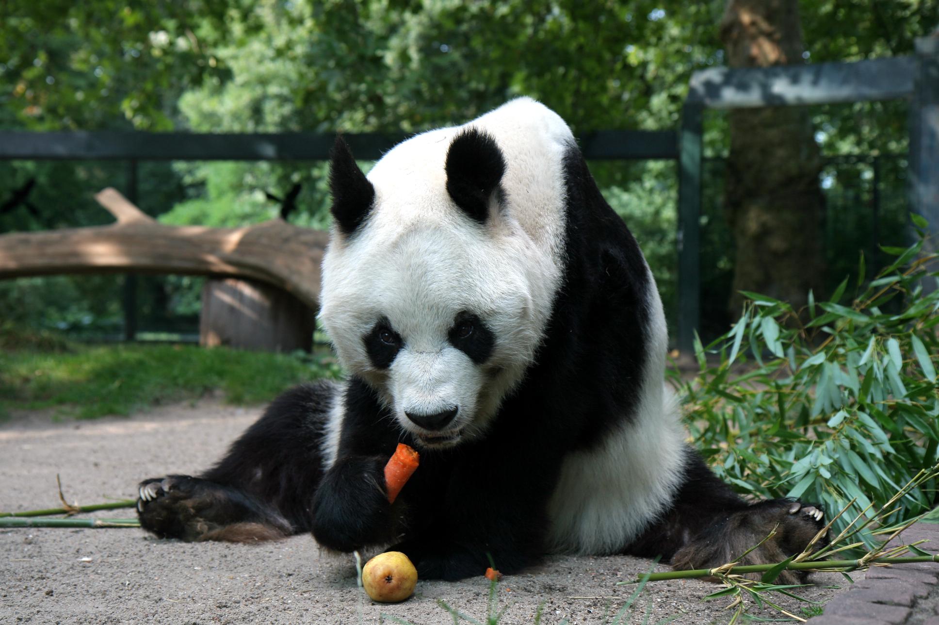 Giant Panda Bear Photo Gallery