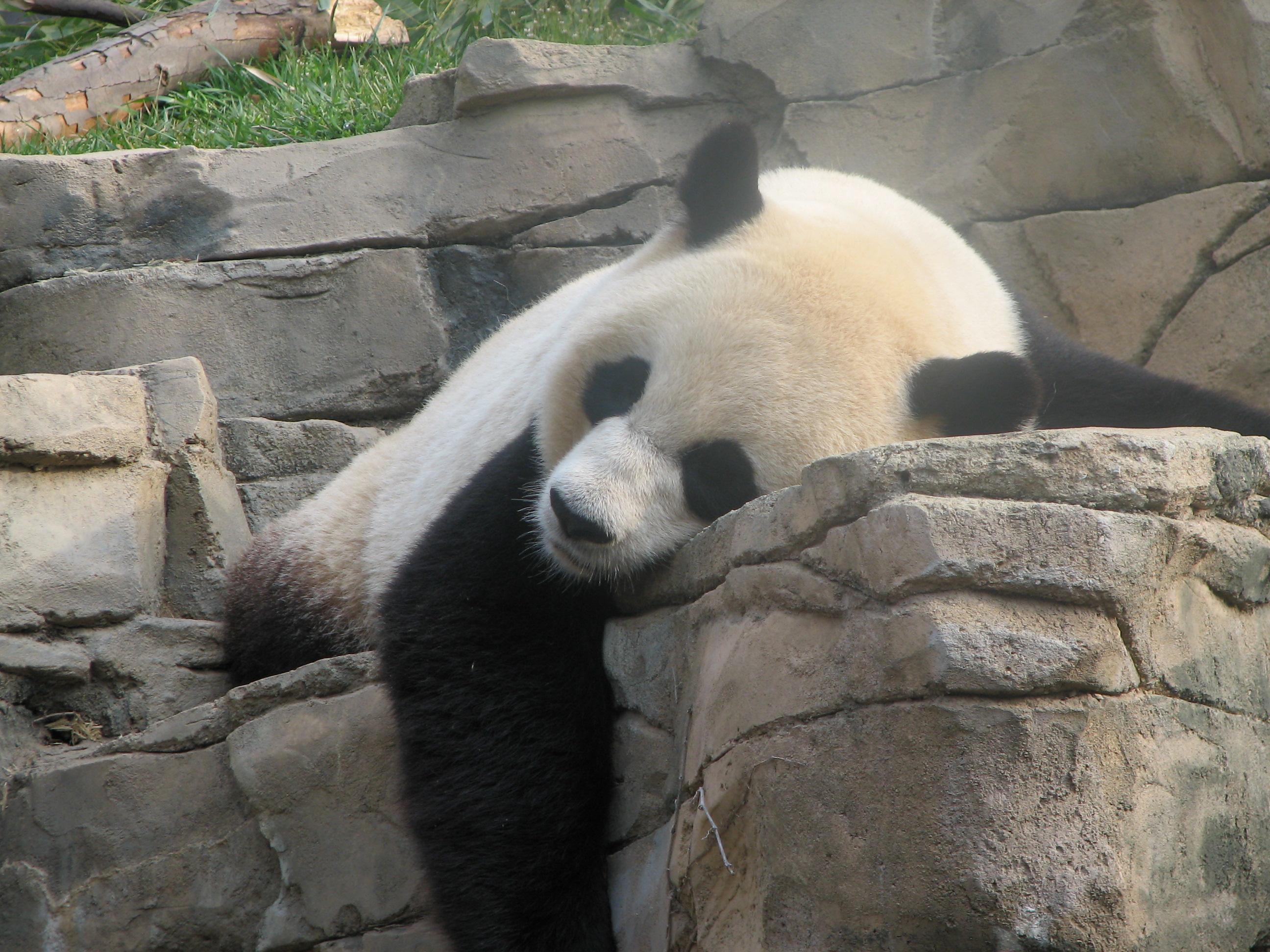 pygmy-giant-panda