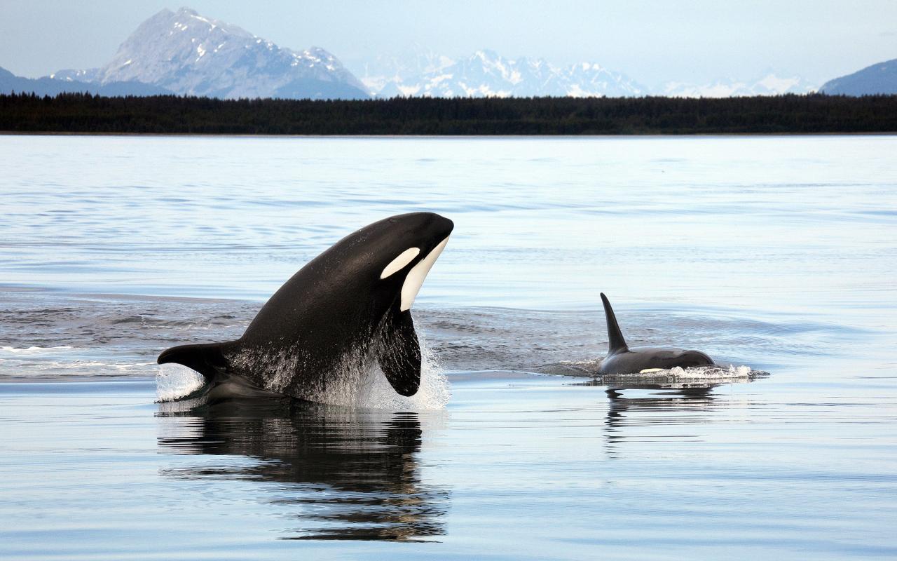 animals wildlife orca picture - photo #11