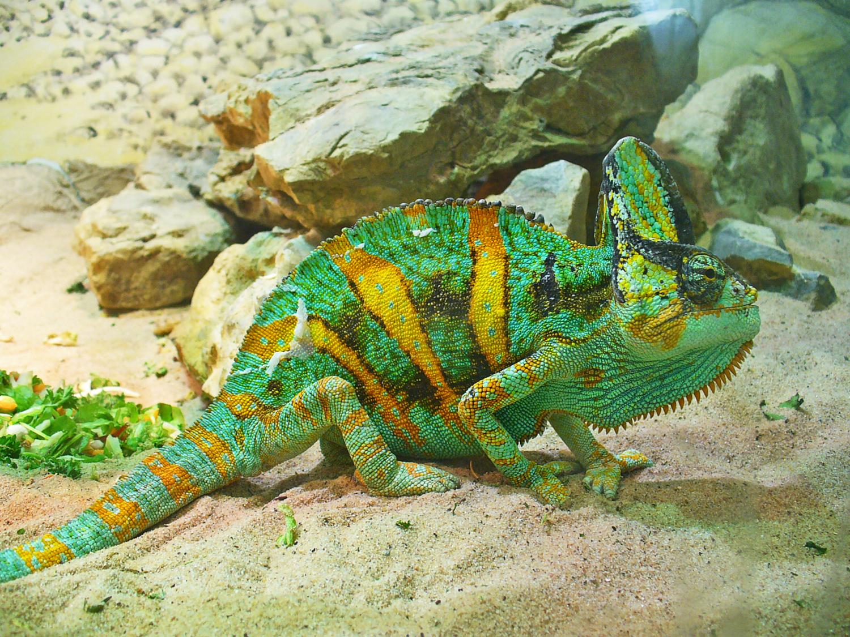Хамелеон описание, виды, чем питается, где обитает, фото 14