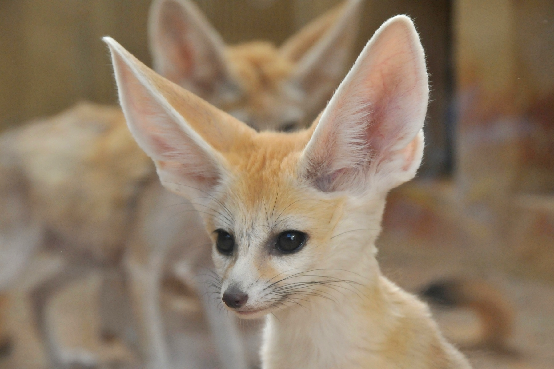 Animals Nature Emoji One also Fennec Fox cute ears cute baby Vulpes zerda in addition Panda Clipart furthermore Teddy Bear Clipart as well Dinosaur. on baby bear tree