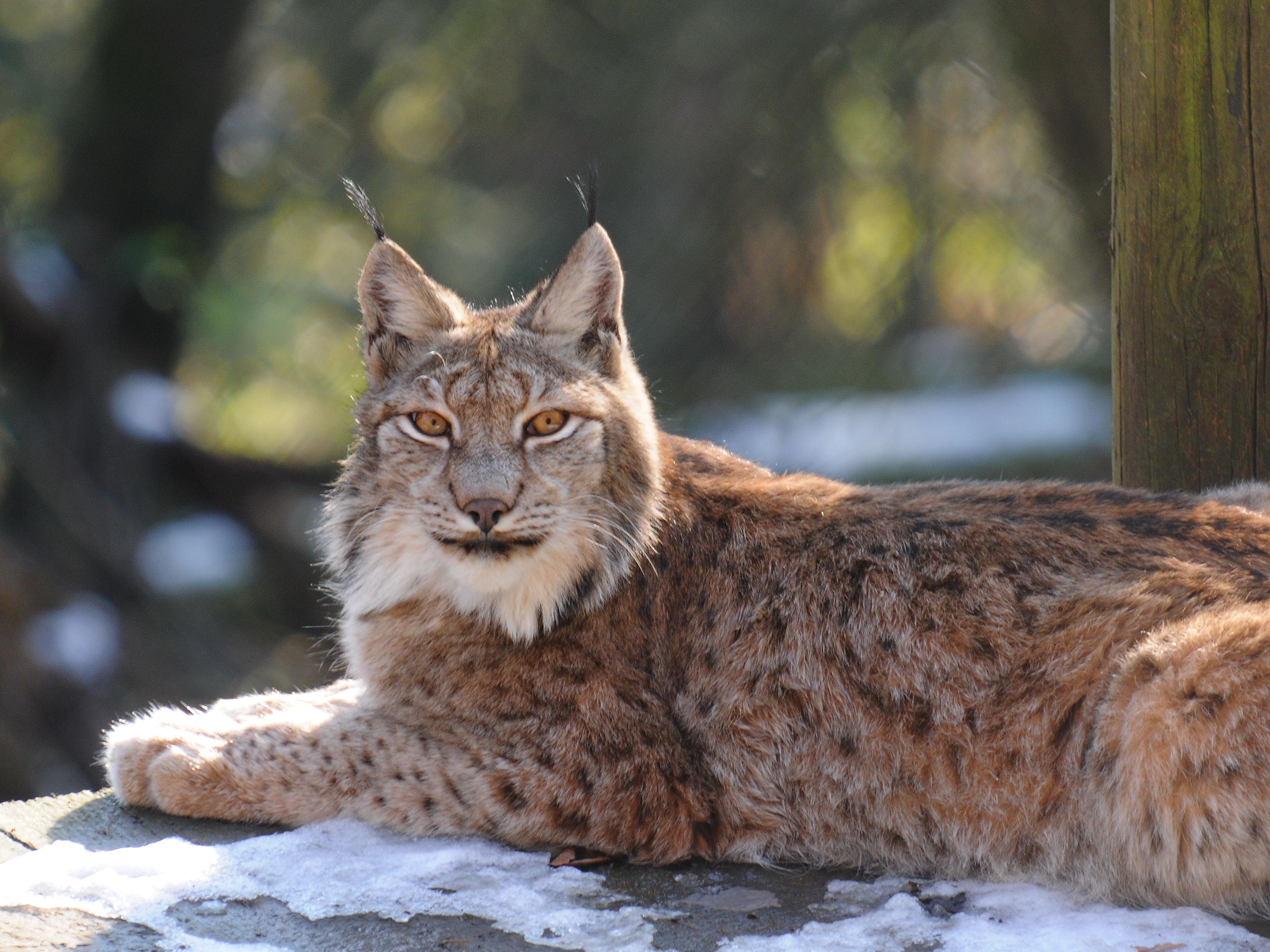 Lynx cat - photo#16