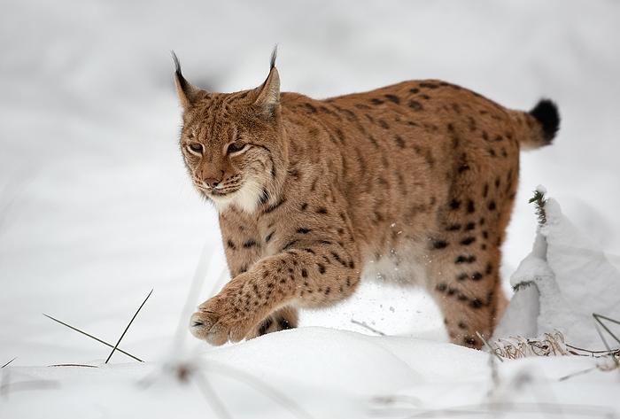 Lynx cat - photo#20