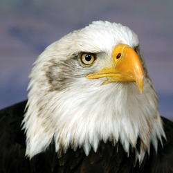 American Bald Eagle aguila picture Bald_eagle_head_frontal