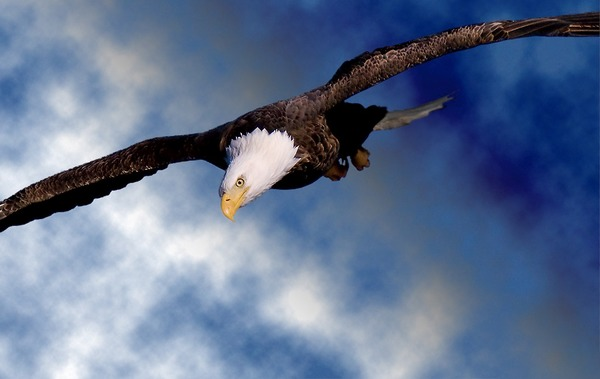American Bald Eagle picture aguila Bald-eagle-43