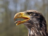 American Bald aguila Eagle picture Juvenile_Bald_Eagle_(head)