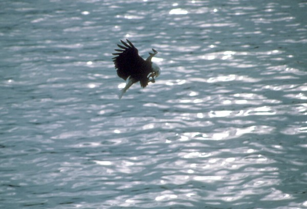 American Eagle Bald picture aguila Bald_eagle_eating