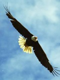American Eagle aguila Bald picture Baldeagle-05jul2