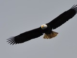 American Eagle picture aguila Bald Haliaeetus_leucocephalus_-Alaska,_USA_-flying-8
