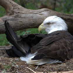 Bald American aguila Eagle picture Bald_eagle_(4531334194)