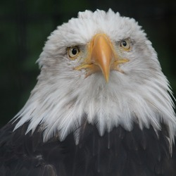 Bald American picture Eagle aguila Bald_Eagle_RWD