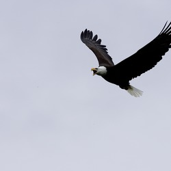 Bald American picture aguila Eagle Haliaeetus_leucocephalus-flight-USFWS