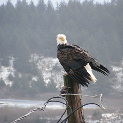 Bald Eagle American picture aguila Bald_Eagle,_Kodiak,_Alaska