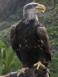 Bald Eagle picture aguila American SeeadlerPalmitos