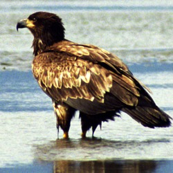 Bald aguila American Eagle picture Juvenile_Bald_Eagle_Wet