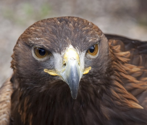 Bald aguila American picture Eagle Young_Bald_Eagle_Head_2_(4451577114)