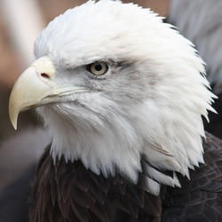 Bald aguila Eagle American picture Bald_Eagle13