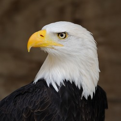 Bald aguila Eagle picture American Bald_Eagle_Portrait