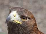 Eagle American aguila Bald picture Young_Bald_Eagle_Head_(4451575450)