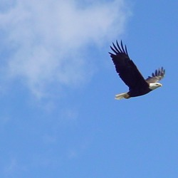 Eagle Bald aguila picture American EagleSoars