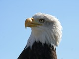 aguila American Eagle Bald picture Bald_Eagle_Head_(1224691901)