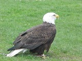 aguila American Eagle picture Bald Seattle-eagle