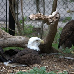 aguila Bald American Eagle picture Bald_eagles_(4531333998)