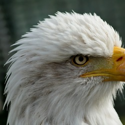 aguila Bald American picture Eagle Bald_eagle_head_closeup