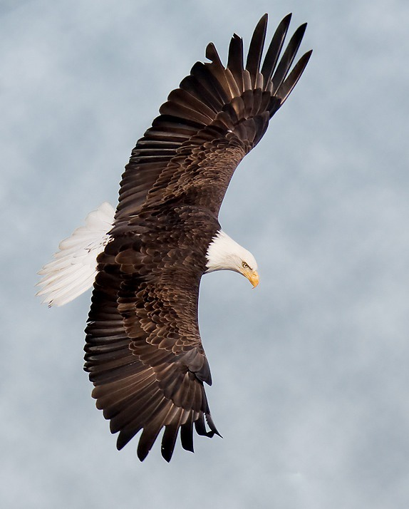 aguila Bald picture American Eagle Bald-eagle-160