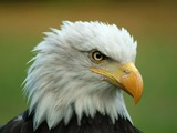 aguila Eagle American picture Bald Bald_Eagle_Head
