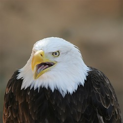 aguila Eagle picture American Bald Eagle_Bokeh