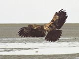 aguila Eagle picture Bald American Juvebaldeagle-06may3