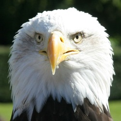 aguila picture Bald American Eagle bald_Eagle_Head_2_(1225541248)