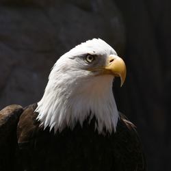 picture American aguila Eagle Bald picture Eagle Bald American aguila Bald_Eagle