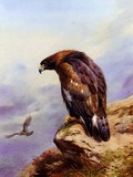 Eagle Golden bird photo aquila Thornburn_Archibald_A_Golden_Eagle