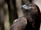 Eagle aquila bird photo Golden GoldenEagle-1_copy