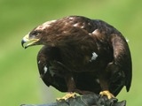 Eagle photo aquila bird Golden Golden_Eagle_(Aquila_chrysaetos)_(6)