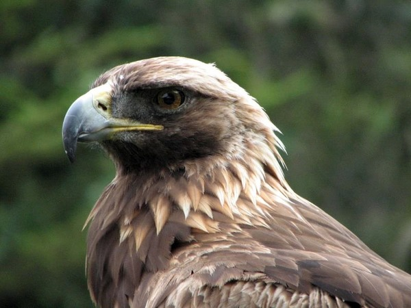 Golden Eagle bird aquila photo Golden_Eagle_(Aquila_chrysaetos)_head