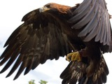 Golden Eagle bird photo aquila Golden_Eagle_in_flight_-_5