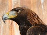 Golden Eagle bird photo aquila Steinadler,_Aquila_chrysaetos_02