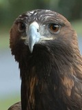 Golden Eagle photo aquila bird photo aquila Golden bird Eagle Golden-Eagle-Szmurlo