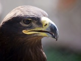 Golden aquila bird photo Eagle photo bird Golden Eagle aquila Golden_Eagle