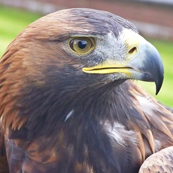 Golden bird aquila Eagle photo Orla_the_Golden_Eagle_(7992457847)