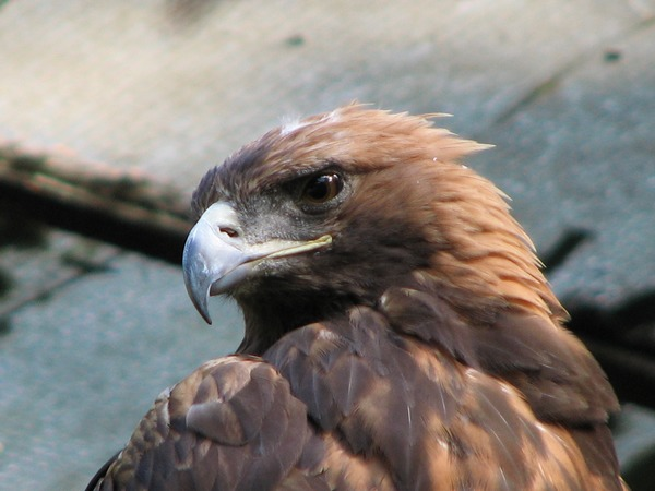 Golden bird photo aquila Eagle Aquila-chrysaetos-golden-eagle-0b